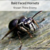 Bald Faced Hornets: Know Thine Enemy