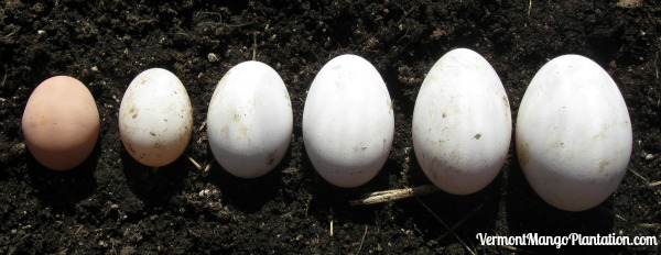 How is a Goose Egg Different From a Chicken Egg?
