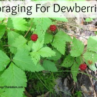 Foraging for Dewberries (Rubus flagellaris)