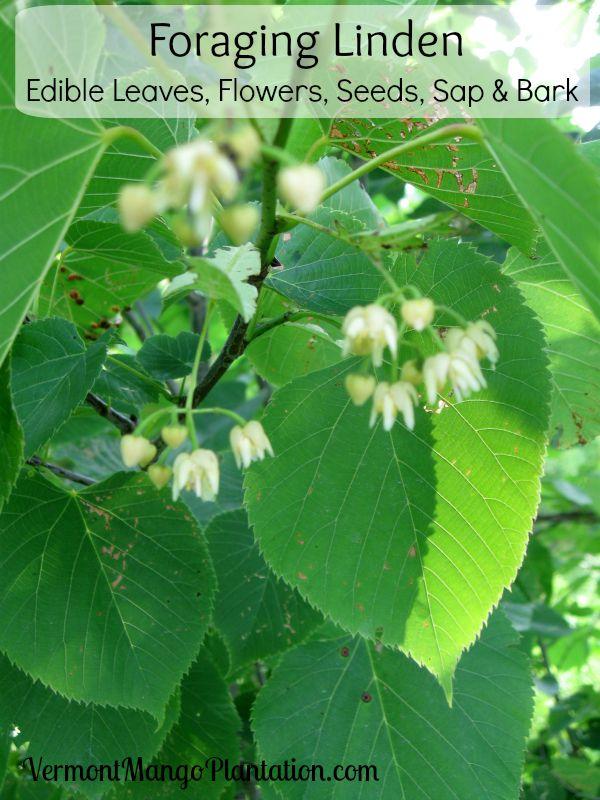 Foraging Linden: Edible Leaves, Flowers, Seeds, Sap & Bark