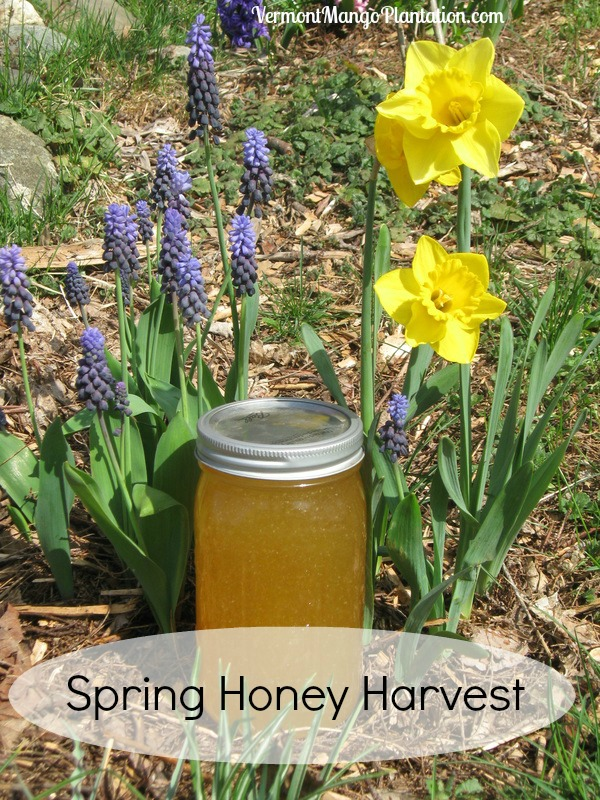 Spring Honey Harvest