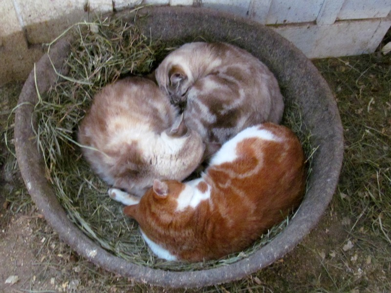 Cats in hay