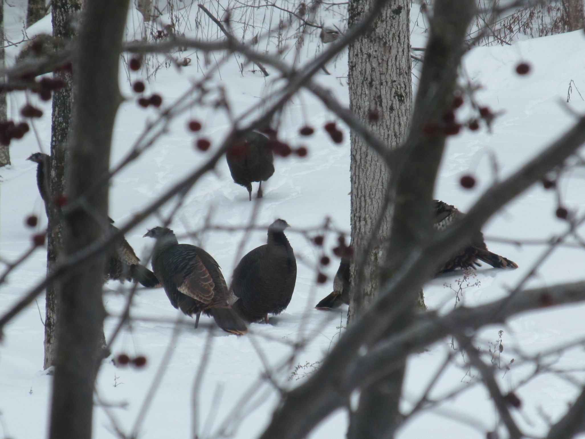 Turkeys and Crabapples 2016