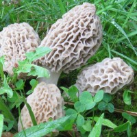 Foraging Morel Mushrooms: How to Find, Identify, Preserve and Cook Morel Mushrooms