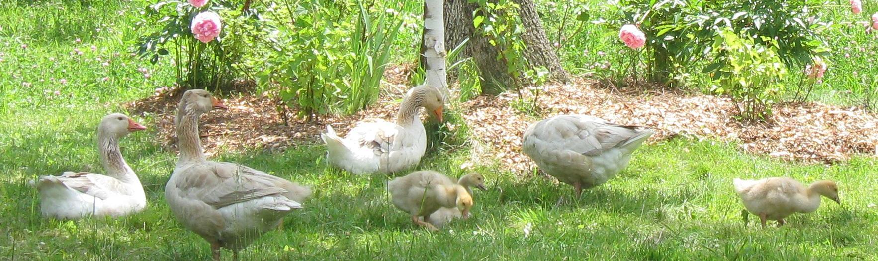 Goose Family Banner